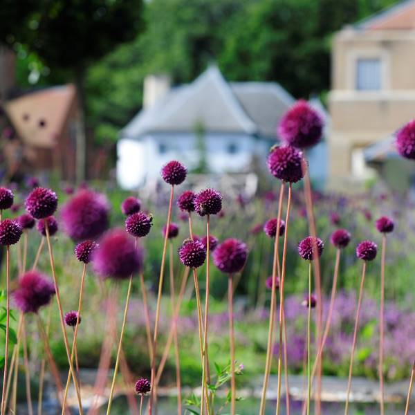 Aliums on Herb House Roof.JPG